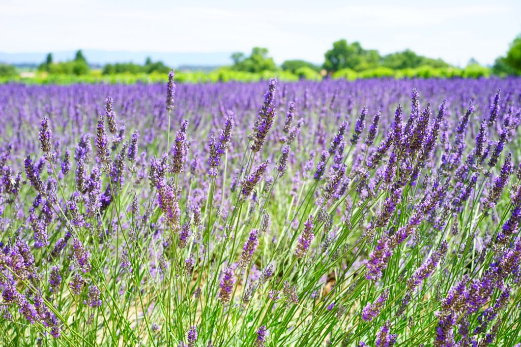 Growing and caring for Lavender Plants