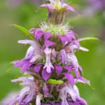 horsemint plant to repel mosquitoes