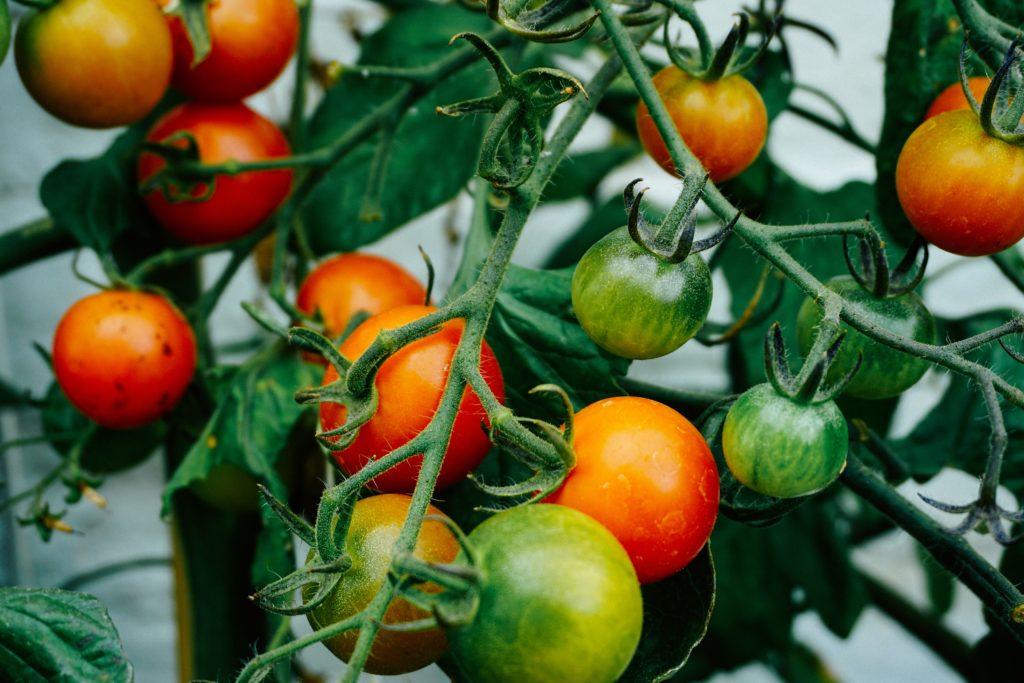 Pruning Tomato Plants