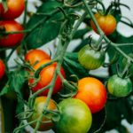 Pruning Tomato Plants