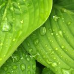 All about Hostas