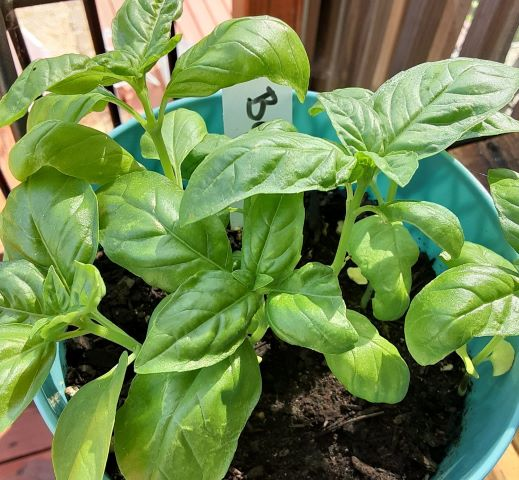how to grow and prune basil