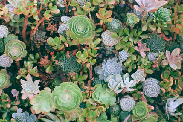 how to regrow succulents