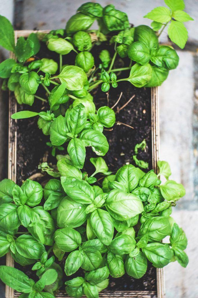 basil companion herb garden