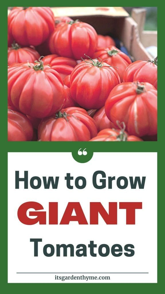 how to grow large red tomatoes