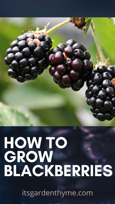 how to grow blackberries and harvest