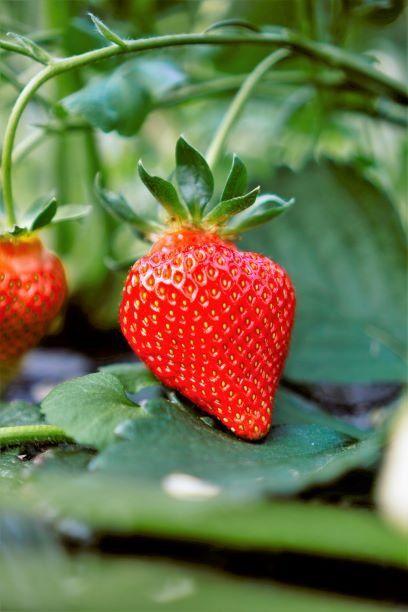a mature and ripe strawberry in backyard garden