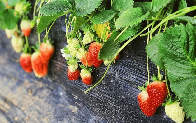 strawberries that aren't ripe
