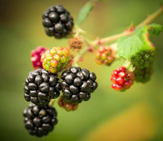 when to pick blackberries