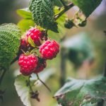 raspberries growing on a plant