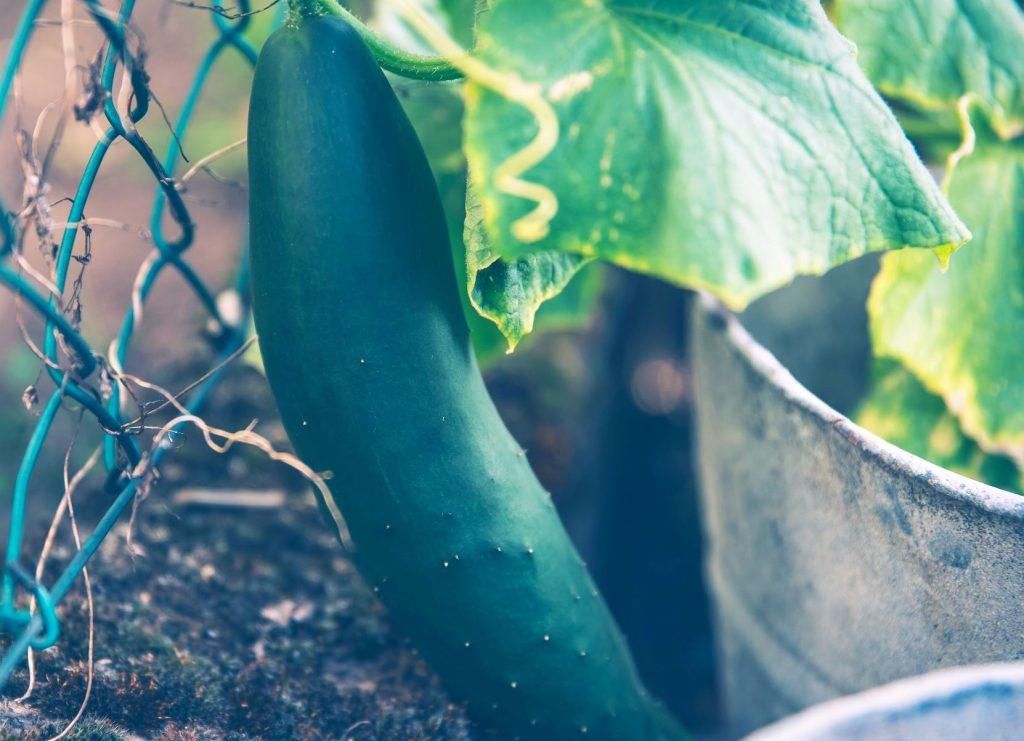 green cucumber growing on vine